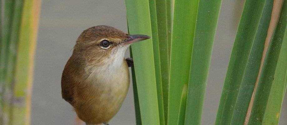 Call of the Reed Warbler