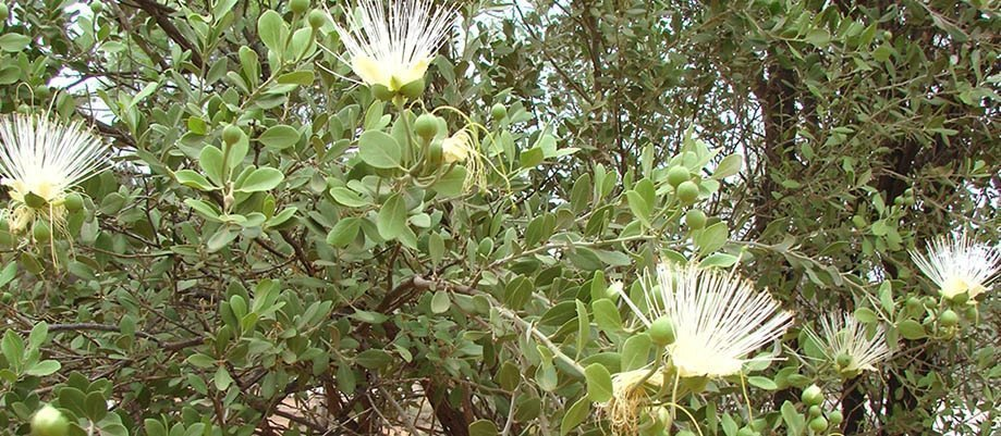 Lyapirtneme-Arne - Veronica Perrurle Dobson & Meg Mooney: Walk & talk about arne (plants)
