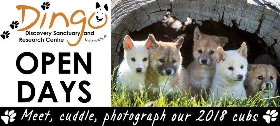 Sat 25 Aug Open Day   Dingo Puppy Encounters