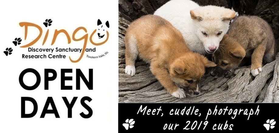 Sun 11 Aug Open Day | Dingo Puppy Encounters